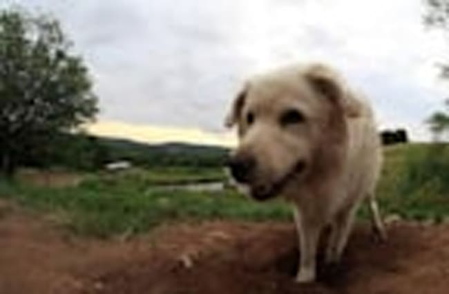 Guard dog makes dirt bed despite chaos around her