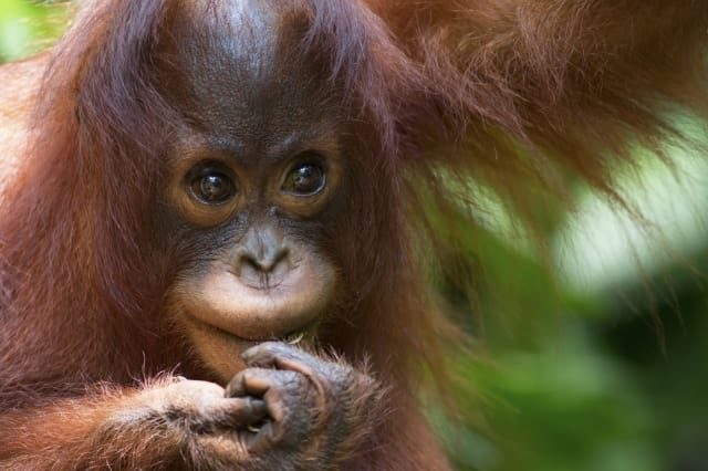 Make friends with orangutans in Borneo