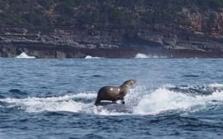 Seal takes a ride on a whale's back