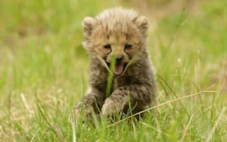 Gorgeous cheetah cubs make their debut at Chester Zoo
