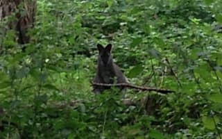 Wallaby spotted by shocked dog walkers in Oxfordshire