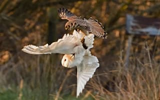 Epic battle in the sky as kestrel steals owl's vole