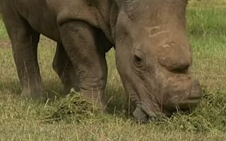 White rhino joins Tinder to preserve future of species
