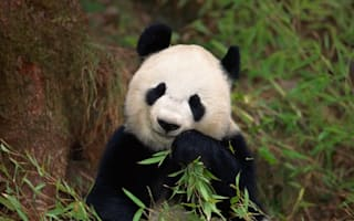 Panda fakes pregnancy for 'more food and better accommodation'