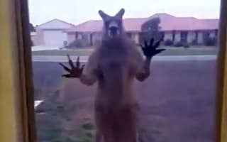 Terrified Brits trapped in house by angry kangaroo