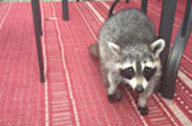 Raccoon and dog share food together