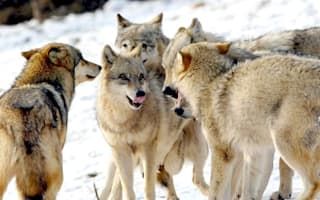 Schoolboy killed by 'pack of wolves' in Siberia