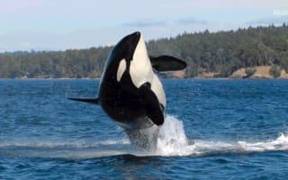 World's oldest killer whale feared dead