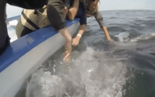 Grey whales approach tourists for affection (cute video)