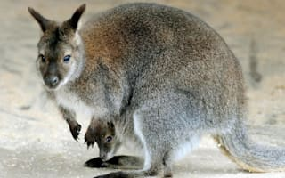 Zoo director drowns wallaby in bucket of water