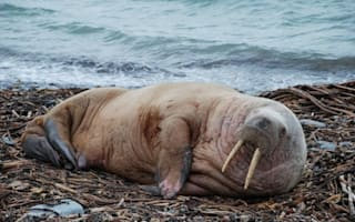 Walrus spotted on beach in Scotland 2,000 miles from home