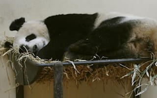 How much would you pay to get up close and personal with a panda?