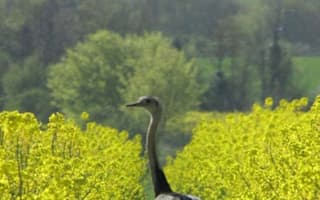 Runaway rhea shot dead in Hertfordshire