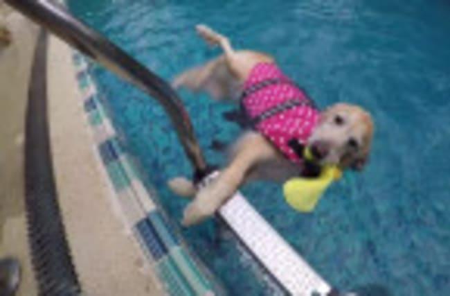 Golden Retriever decides to float instead of swim
