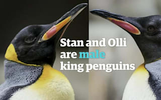 Gay penguins Stan and Olli moved to male-only enclosure
