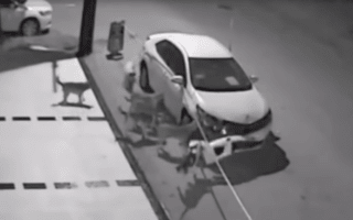 Watch the moment a pack of wild dogs tear the front off a parked Kia