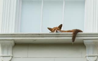 Fox takes nap on Notting Hill window sill