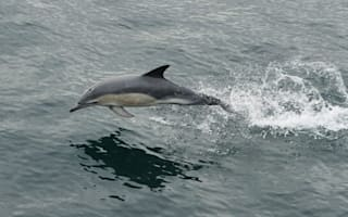 Record numbers of dolphins spotted off Scotland coast