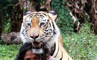 Video: Man plays with 'best friend' - a 27-stone tiger