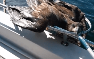 Fisherman rescues drowning bald eagle in Canada (video)