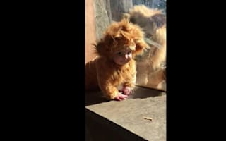 Baby in lion costume makes friends with a real lion