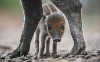 Extremely rare baby warty pig born at Chester Zoo (and it's cute, honestly)
