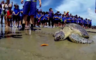 Turtle returned to sea after boat hit and crocodile attack