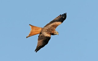 Dive-bombing birds of prey attacking residents in Buckinghamshire village