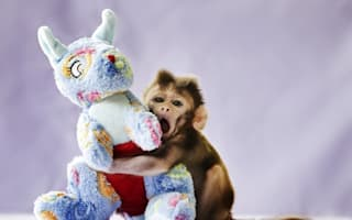 Baby monkey rejected by mum loves his cuddly toy