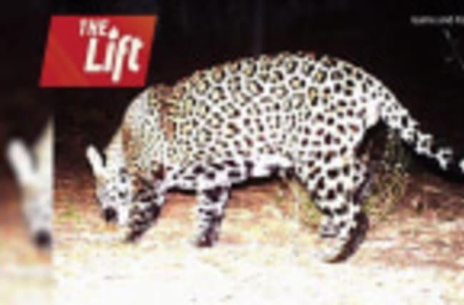 Photo May Show Second Jaguar in Arizona