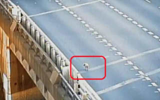 Runaway pig stops traffic on motorway