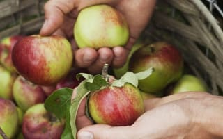 Why eating apples is good for you