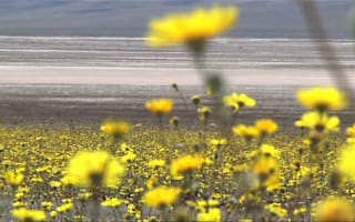 Rare Death Valley 'superbloom' carpets America's famous desert in gold