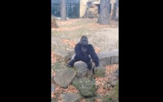 Zoo gorilla throws rock at Irish tourists (video)