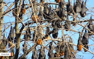 Australian town plagued by more than 100,000 flying fox bats