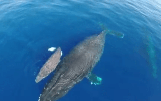 Drone captures amazing footage of stampeding dolphins and baby whales (video)