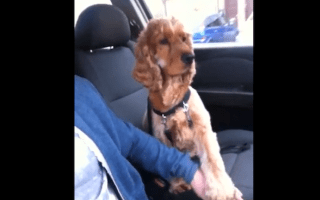 Anxious dog battles fear of cars by holding owner's hand
