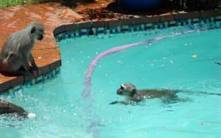 Monkeys sneak into woman's backyard and have a pool party