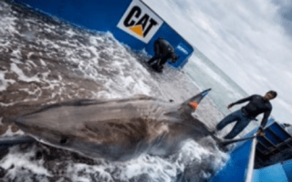First great white shark to cross Atlantic 'may be pregnant' (and still heading for UK)