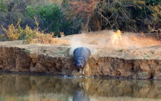 Hippo takes the plunge after being cornered by pack of lions