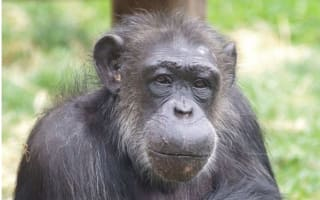 Choppers, the last PG Tips chimpanzee, dies aged 48