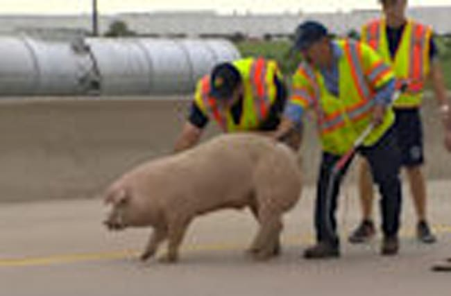 Pigs on loose bring traffic chaos to Texas highway