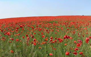 Video of the day: An English poppy field in summer