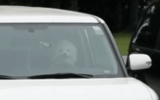 Dog caught on camera beeping horn after being left in car