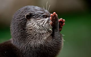 Drivers warned to keep an eye out for 'brazen' otters
