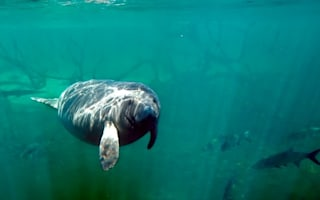 Video: Beachgoers enjoy 'miracle' manatees display in Florida