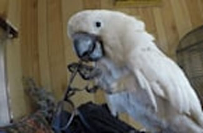 Cockatoo repeatedly yanks off man's glasses, laughs at own prank