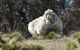 Overgrown sheep has record-breaking 40kg fleece removed