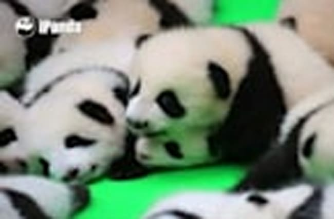 Public display of panda cub cuteness