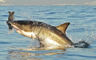 Was the shark attack Briton saved by a seal?